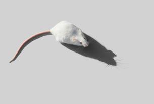 ネズミの写真素材 [FYI03387185]