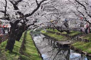 桜並木と川辺の写真素材 [FYI03387267]