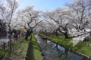 桜並木2の写真素材 [FYI03387268]