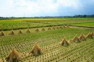 収穫時期の田んぼの写真素材 [FYI03387312]