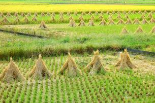 収穫時期の田んぼの写真素材 [FYI03387315]