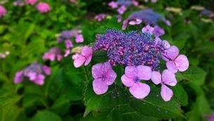 ガクアジサイの花弁2の写真素材 [FYI03387914]