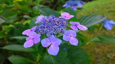 ガクアジサイの花弁の写真素材 [FYI03387915]
