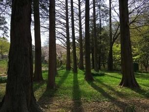 メタセコイア木立の写真素材 [FYI03387960]
