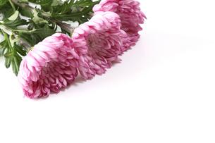 菊の花束の写真素材 [FYI03388189]