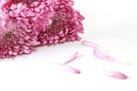 菊の花束の写真素材 [FYI03388190]