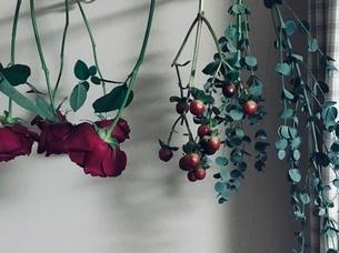 バラ、赤い実、ユーカリを逆さに吊るしドライフラワーを作ってる所 バックは白い壁紙の写真素材 [FYI03388335]