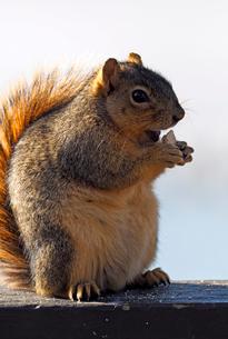 フェンスのレールの上で食べ物を楽しんでいるリスの写真素材 [FYI03388361]