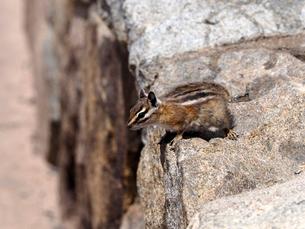 石組の壁の上から遠くをうかがうリスの写真素材 [FYI03388363]