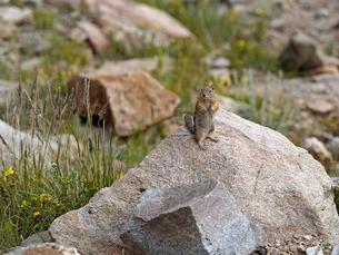 石の上にのって立ち上がり辺りを見渡しているジリスの写真素材 [FYI03388398]