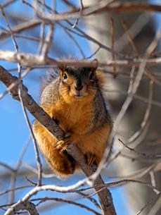 枯れ枝につかまり前方をじっと見ているリスの写真素材 [FYI03388405]