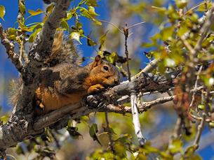日向ぼっこしているかのようにのんびりと木の上で寛いでいるリスの写真素材 [FYI03388408]