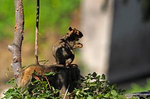 フェンスの角ポールの上に立って木の実を食べているリスの写真素材 [FYI03388412]