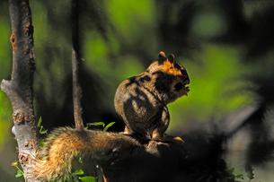 木陰で木の実を食べているリスの写真素材 [FYI03388414]