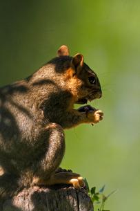 無心に木の実を食べているリスの写真素材 [FYI03388416]