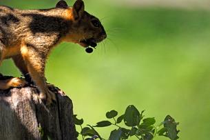 木の実をくわえてフェンスのポストの上にいるリスの写真素材 [FYI03388418]
