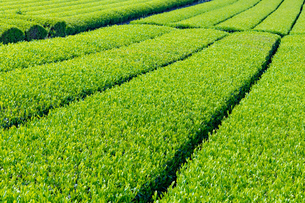 静岡県富士市大淵笹場の茶畑の写真素材 [FYI03388585]