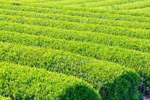 静岡県富士市大淵笹場の茶畑の写真素材 [FYI03388586]