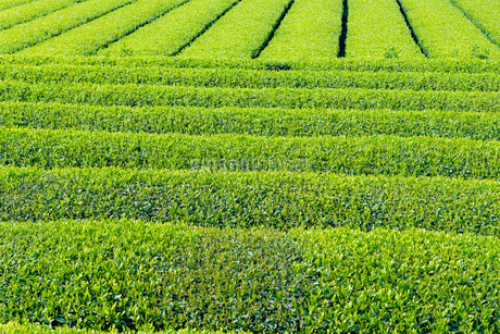 静岡県富士市大淵笹場の茶畑の写真素材 [FYI03388587]