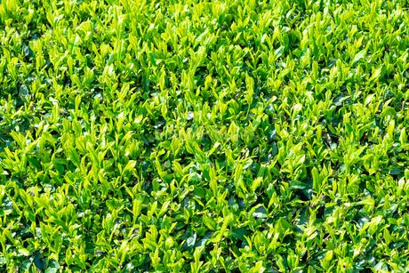 静岡県富士市大淵笹場の茶畑の写真素材 [FYI03388588]