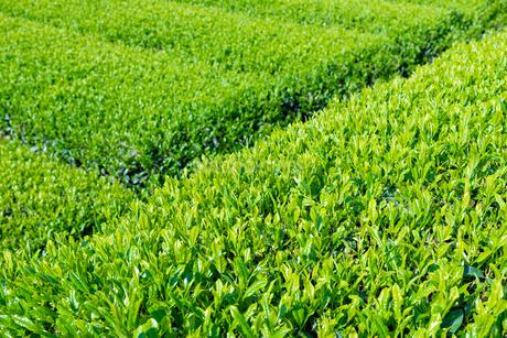 静岡県富士市大淵笹場の茶畑の写真素材 [FYI03388589]