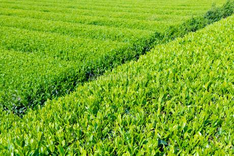 静岡県富士市大淵笹場の茶畑の写真素材 [FYI03388590]
