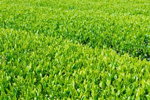 静岡県富士市大淵笹場の茶畑の写真素材 [FYI03388591]