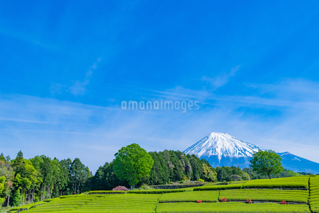 静岡県富士市大淵笹場の茶畑の写真素材 [FYI03388592]