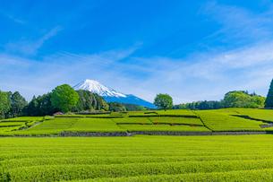 静岡県富士市大淵笹場の茶畑の写真素材 [FYI03388593]