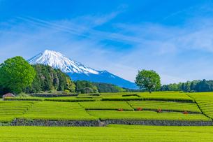 静岡県富士市大淵笹場の茶畑の写真素材 [FYI03388594]