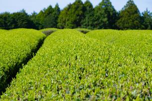 静岡県富士市大淵笹場の茶畑の写真素材 [FYI03388595]