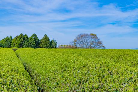 静岡県富士市大淵笹場の茶畑の写真素材 [FYI03388596]