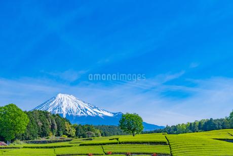 静岡県富士市大淵笹場の茶畑の写真素材 [FYI03388597]