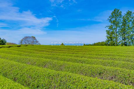 静岡県富士市大淵笹場の茶畑の写真素材 [FYI03388598]