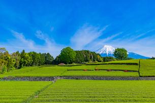静岡県富士市大淵笹場の茶畑の写真素材 [FYI03388600]