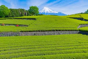 静岡県富士市大淵笹場の茶畑の写真素材 [FYI03388601]