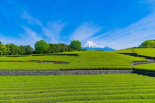 静岡県富士市大淵笹場の茶畑の写真素材 [FYI03388602]