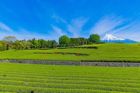 静岡県富士市大淵笹場の茶畑の写真素材 [FYI03388603]