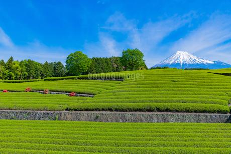 静岡県富士市大淵笹場の茶畑の写真素材 [FYI03388604]
