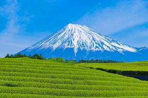 静岡県富士市大淵笹場の茶畑の写真素材 [FYI03388605]