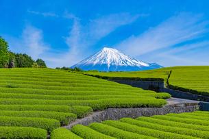 静岡県富士市大淵笹場の茶畑の写真素材 [FYI03388606]