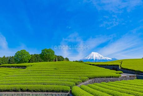静岡県富士市大淵笹場の茶畑の写真素材 [FYI03388607]