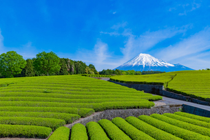 静岡県富士市大淵笹場の茶畑の写真素材 [FYI03388610]