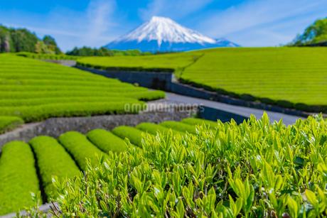 静岡県富士市大淵笹場の茶畑の写真素材 [FYI03388611]