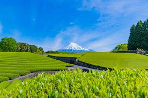 静岡県富士市大淵笹場の茶畑の写真素材 [FYI03388612]