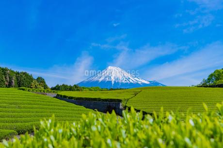静岡県富士市大淵笹場の茶畑の写真素材 [FYI03388613]