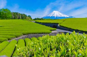 静岡県富士市大淵笹場の茶畑の写真素材 [FYI03388614]