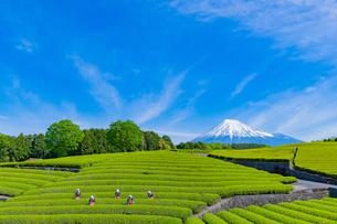 静岡県富士市大淵笹場の茶畑の写真素材 [FYI03388615]