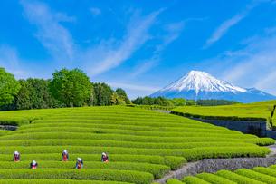 静岡県富士市大淵笹場の茶畑の写真素材 [FYI03388616]