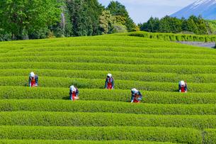 静岡県富士市大淵笹場の茶畑の写真素材 [FYI03388617]